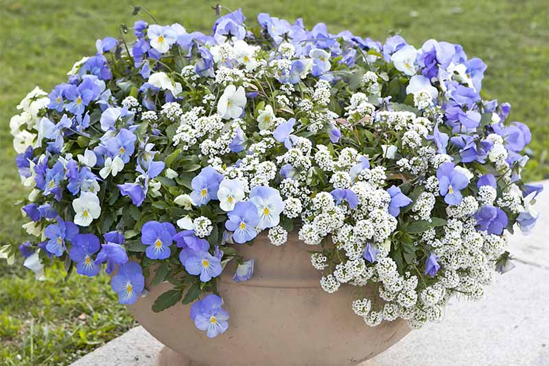 White alyssum and blue pansies with yellow centers growing in a stone planter on a gray wall, with a green lawn in the background.