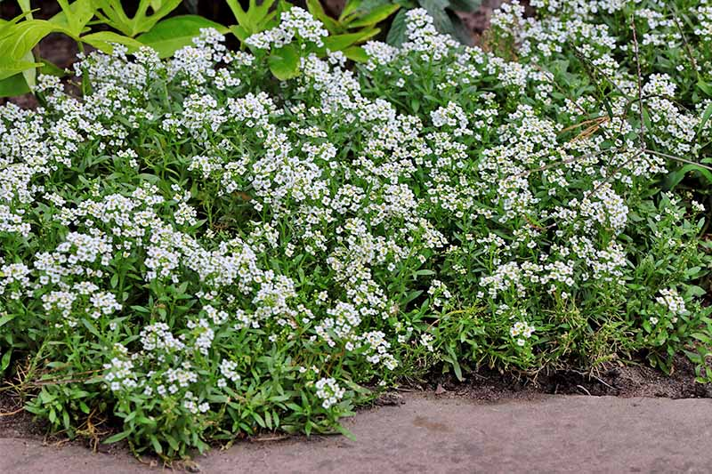 White Lobularia maritima flowers with green leaves, growing in a garden border.