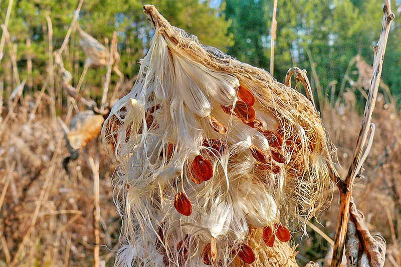 Milkweed seeds on a dry pod that has broken open in the fall, with dry, dead stalks of the plant surrounding it, and green trees in the distance.