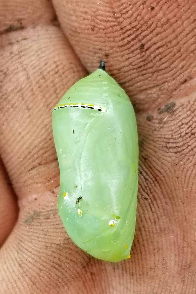 Closeup of a light green Monarch butterfly chrysalis, with a yellow and black stripe at the top, in the palm of a person's dirt-covered hand.