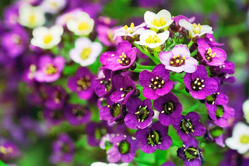 Extreme closeup of purple and white sweet alyssum flowers, with green foliage.