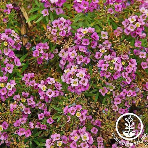 Closeup of pink 'Rosie O'Day' alyssum flowers.