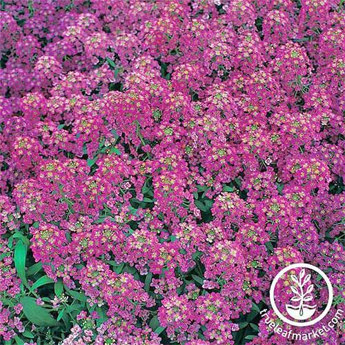 Closeup of 'Royal Carpet' dark pink alyssum, filling the frame.