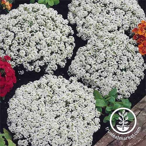 Four clusters of white 'Snow Crystals' alyssum flowers.
