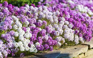 Grow Sweet Alyssum for a Long Season of Fragrant Blooms