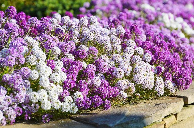 Alternating purple and white alyssum flowers creating an edge border in a garden bed.