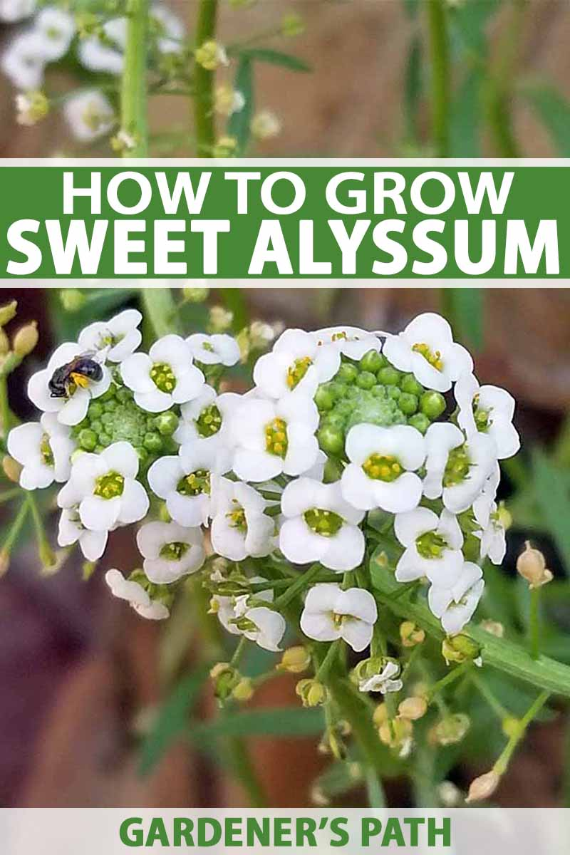 How To Grow Sweet Alyssum Lobularia Maritima Gardeners Path