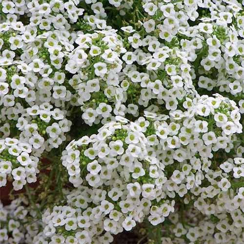 Closeup of 'Tall White' alyssum flowers.