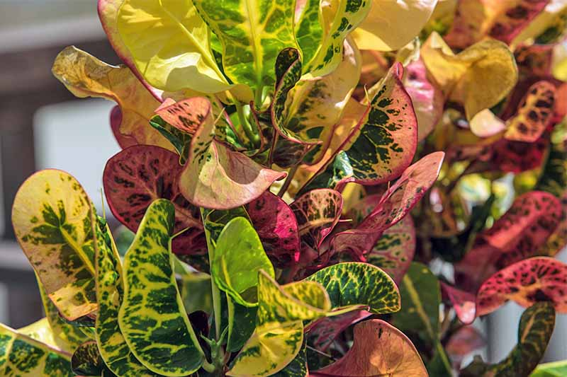 Closeup of a curly-leafed red, green, peach, and yellow croton plant.