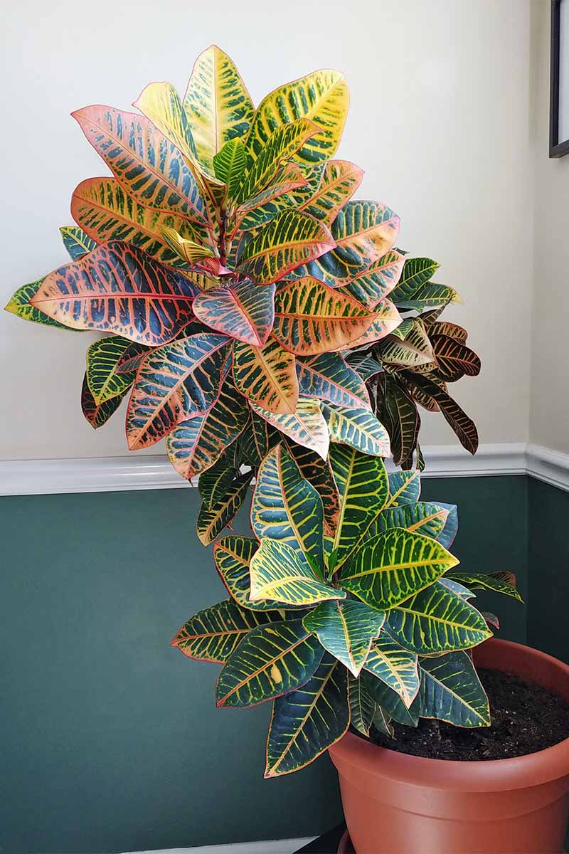 A green, red, and yellow croton plant growing in a terra cotta colored plastic pot, in a room with a half green and half white wall, with a white chair rail in between.