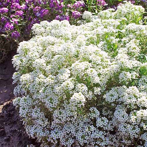 A large cluster of frothy white 'Tiny Tim' alyssum, with more of a purple variety in the background.