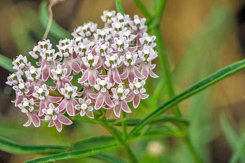 Pink and white Asclepias with narrow green leaves, on a brown background with selective focus.