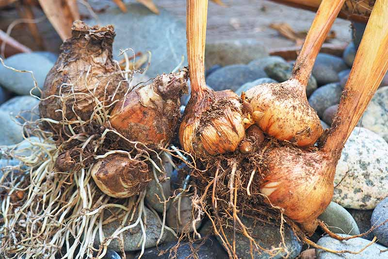 Brown flower bulbs with roots and offsets, on a stone background.