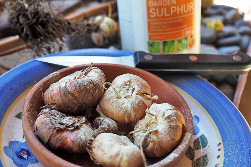 Bulbs are piled in a terra cotta dish in the foreground, with a container of garden sulfur and a paring knife in the background.