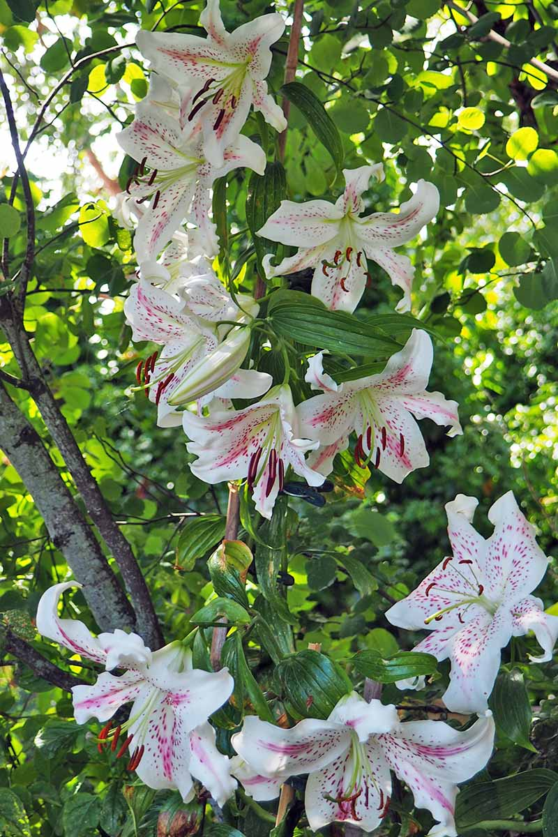 White and pink oriental lilies with green foliage, growing in mottled sunlight.