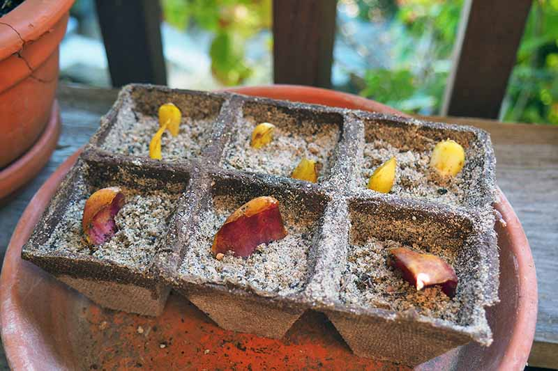 Flower bulb scales planted in a dry perlite mixture in a cardboard seed starting container, on top of a terra cotta container on a wood deck, with green plants in shallow focus in the background.