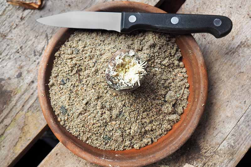 A flower bulb, paring knife with black plastic handle, and dry potting mix in a terra cotta container to illustrate the scooping method of propagation, on a brown unfinished wood surface with wide spaces between slats.