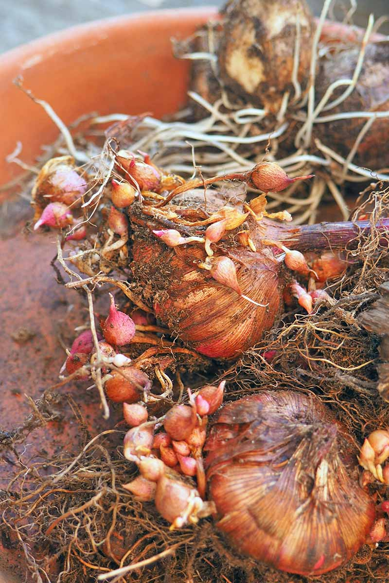 Brown gladiolus corms with pink bulbils and white roots, in brown soil in a terracotta container.