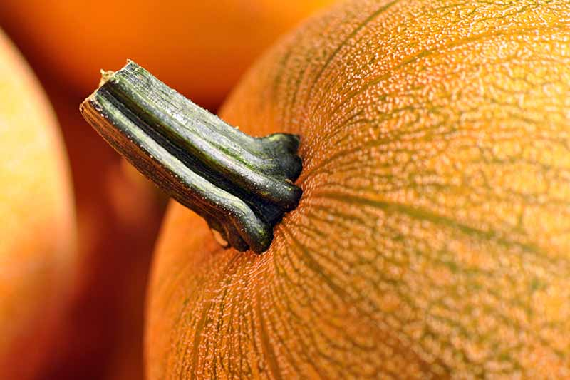 Closeup of the healthy stem of a round orange pumpkin.
