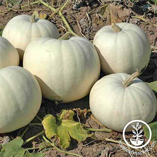 Six white 'New Moon' hybrid pumpkins growing in a field with brown dirt, and green vines and leaves.