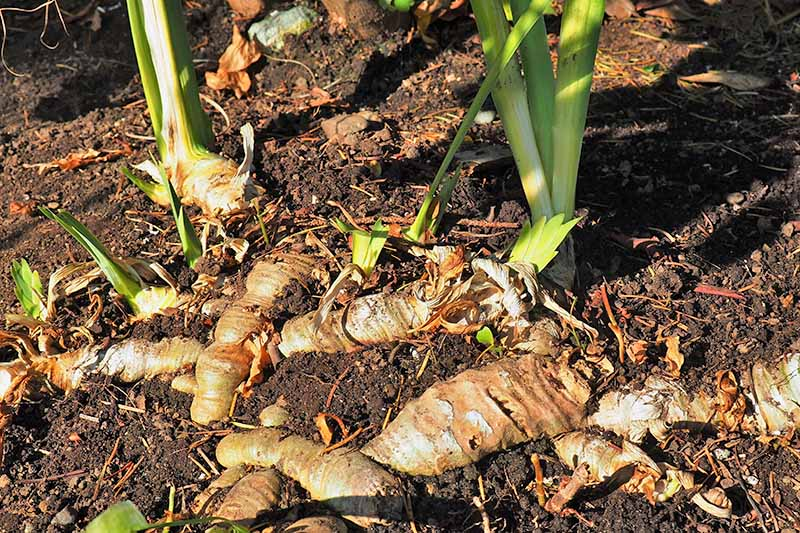 Brown papery iris rhizomes and green blade-like leaves, growing in brown soil in bright sunshine.
