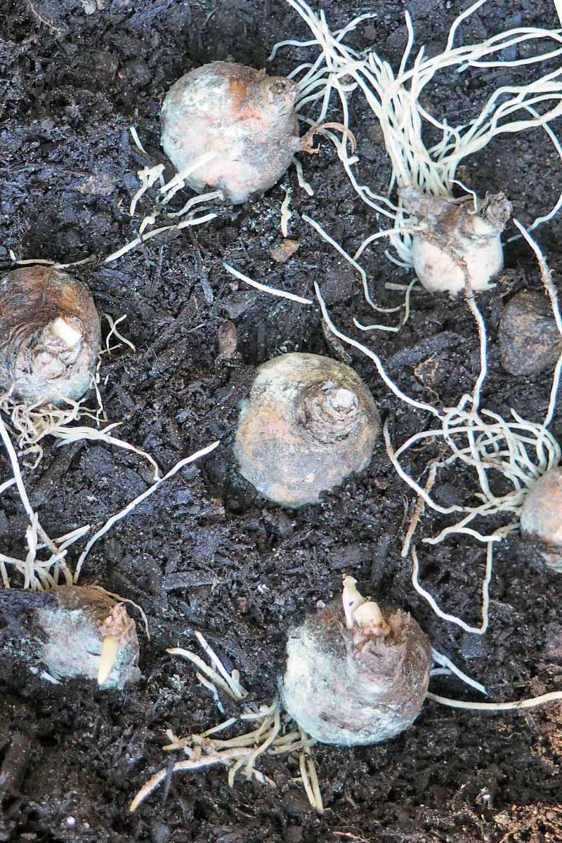 Seven flower bulbs in loose dark brown soil with white rootlike-offsets.