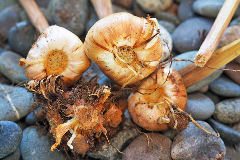 Bulbs arranged on their sides to show the basal plates at the bottom, on a stone background.