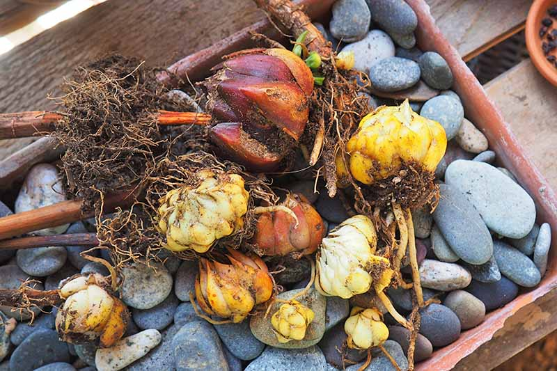 A variety of white, yellow, and orange flower bulbs, in a rectangular shallow terracotta container filled with gray pebbles, on a wood table.