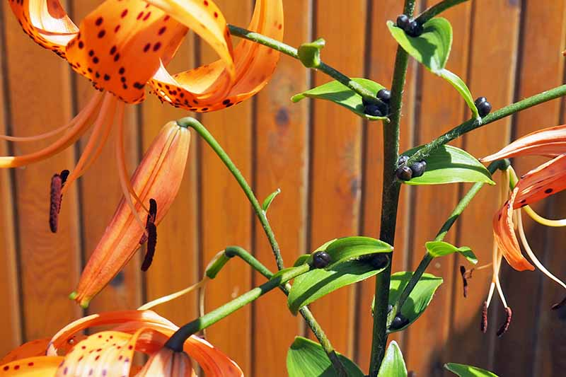Orange tiger lilies with bulbils growing on the green stems close to the base of the leaves, with a brightly lit brown-orange fence in the background.