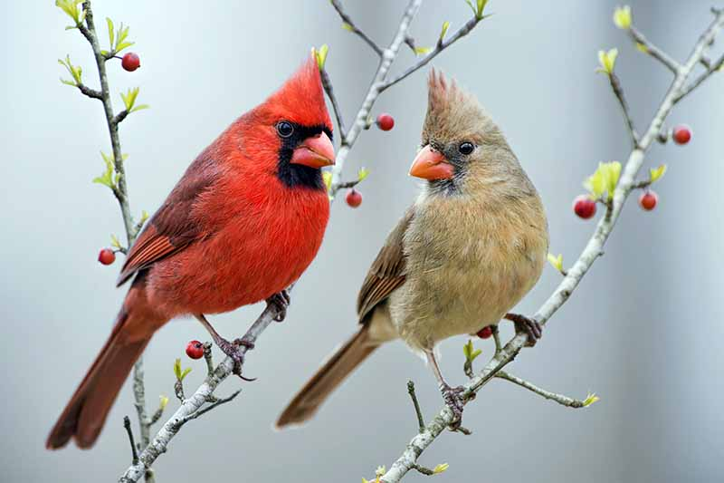 A male and a female cardinal perched on thin branches with red berries, on a gray background.