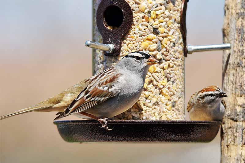 A brown and gray finch on a birdfeeder filled with seed, on a tan background.