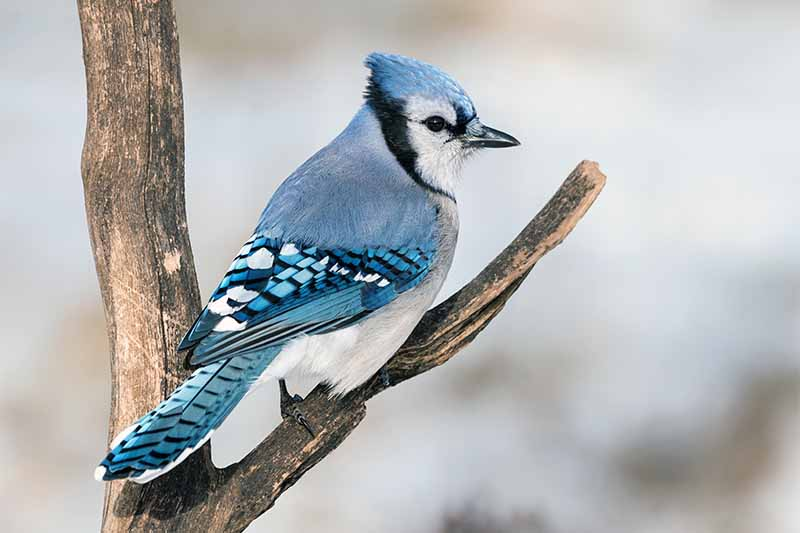 A blue jay is perched on a bare branch in winter, with a white and gray mottled background.