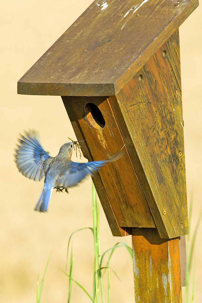 An eastern bluebird brings nesting material to a wood birdhouse, with green grass on a beige background.