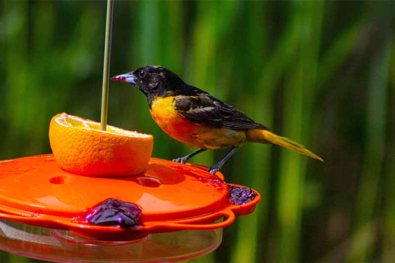 A black and orange oriole at a plastic feeder with fruit and jelly, on a green soft-focus foliage background.