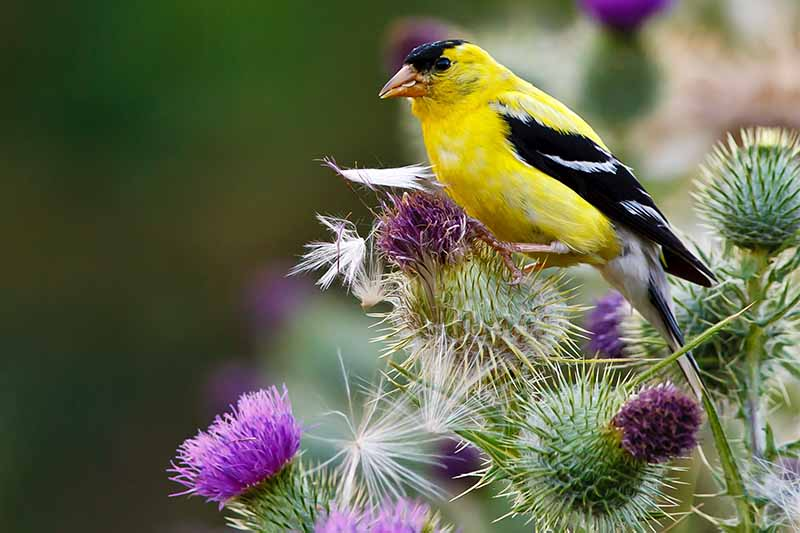 A black and yellow goldfinch perched on a purple thistle plant, with a brown and green background.