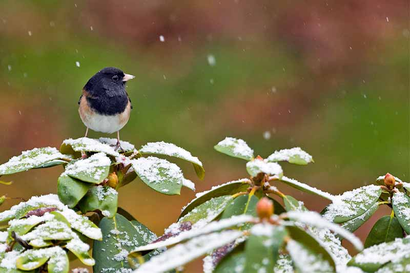 An Oregon junco perched on a rhododendron in the snow, with a green and brown background.