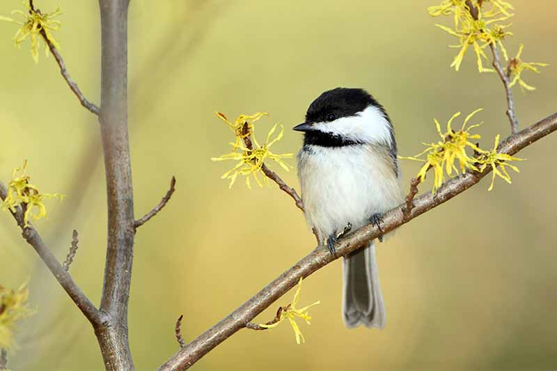 A black and white chickadee perched on a branch with small yellow flowers, on a tan background.