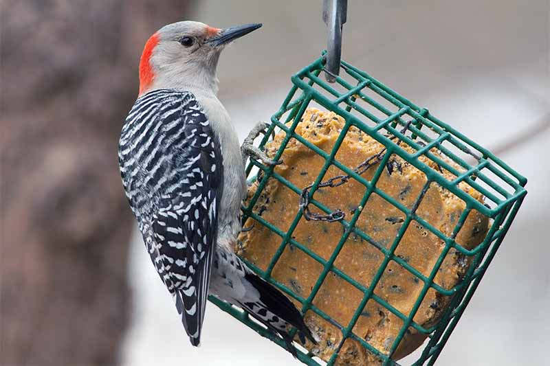 A red-bellied woodpecker with red and gray head, white body, black and white wings, and black peak, perched on a metal suet feeder, with a tree trunk in soft focus in the background.