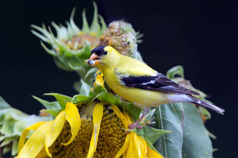 A black and yellow goldfinch on a sunflower, with a seed in its beak, on a black background.