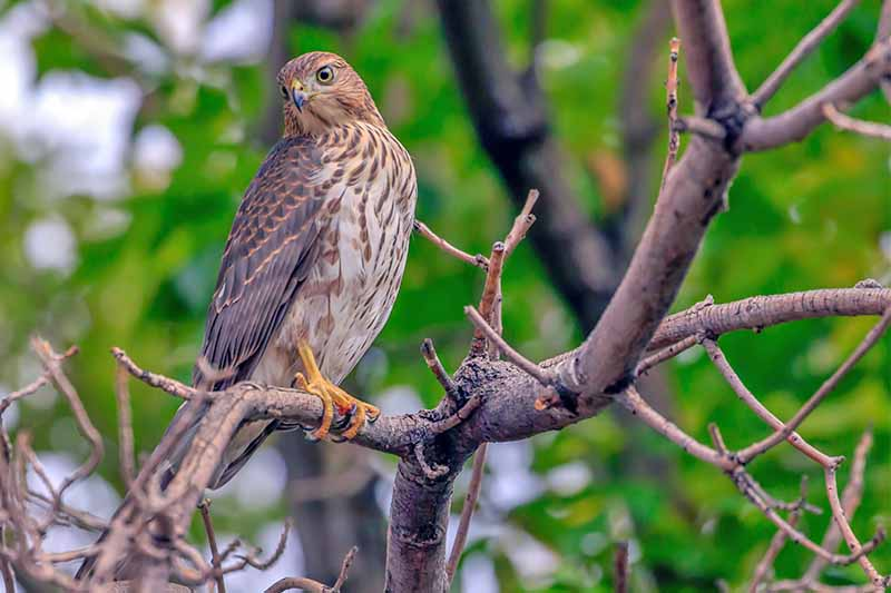 A brown and white cooper's hawk on a bare tree branch, with green foliage in soft focus in the background.