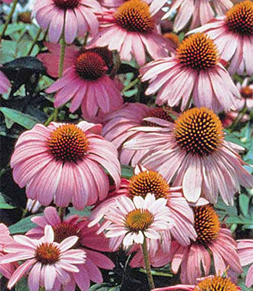 Purple coneflowers with orange centers and green leaves.