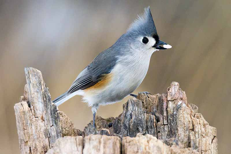 A tufted titmouse perched on a jagged stump, with a white seed in its beak, on a brown streaked background.