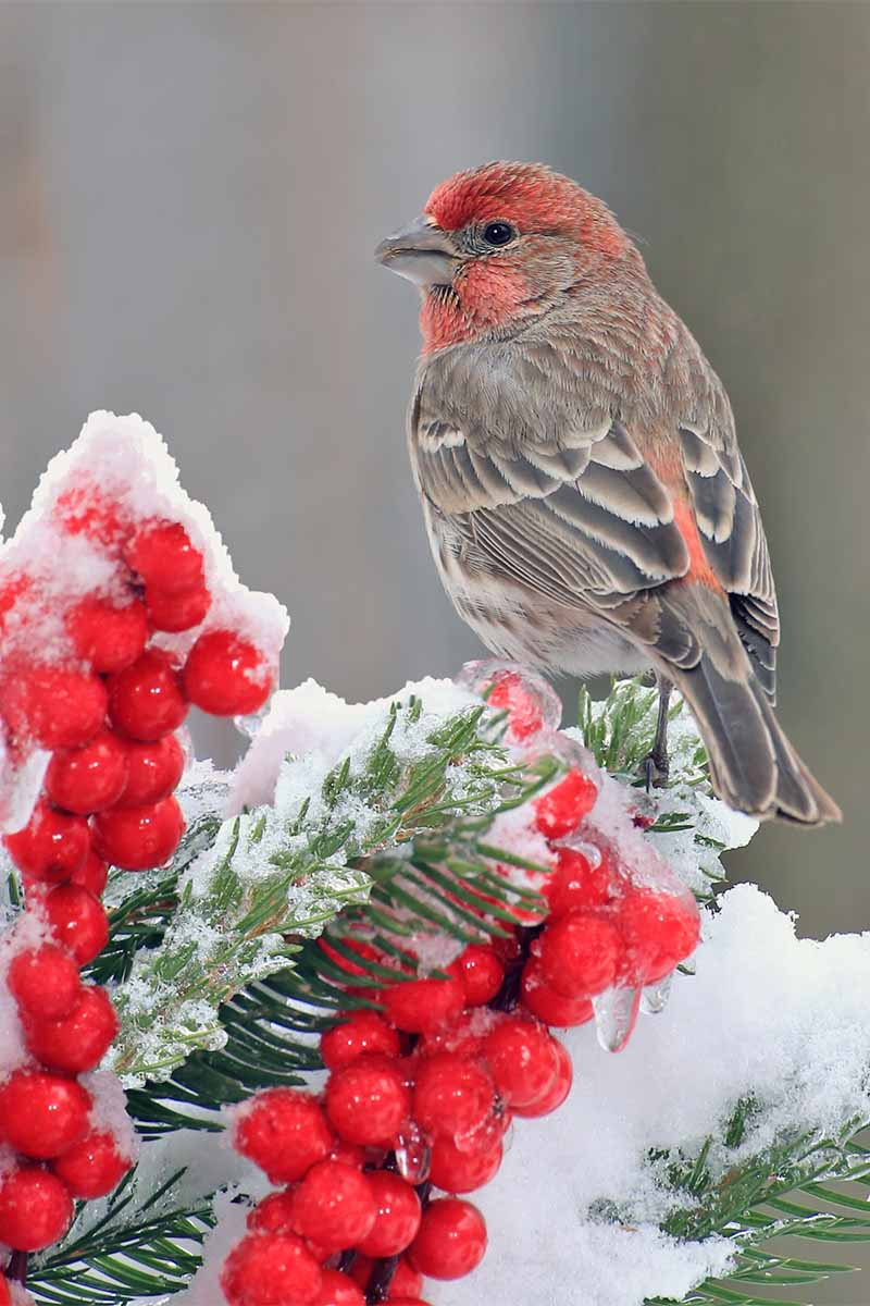 A red, brown, and white house finch perched on an evergreen covered in ice and snow, with red berries, on a gray background.