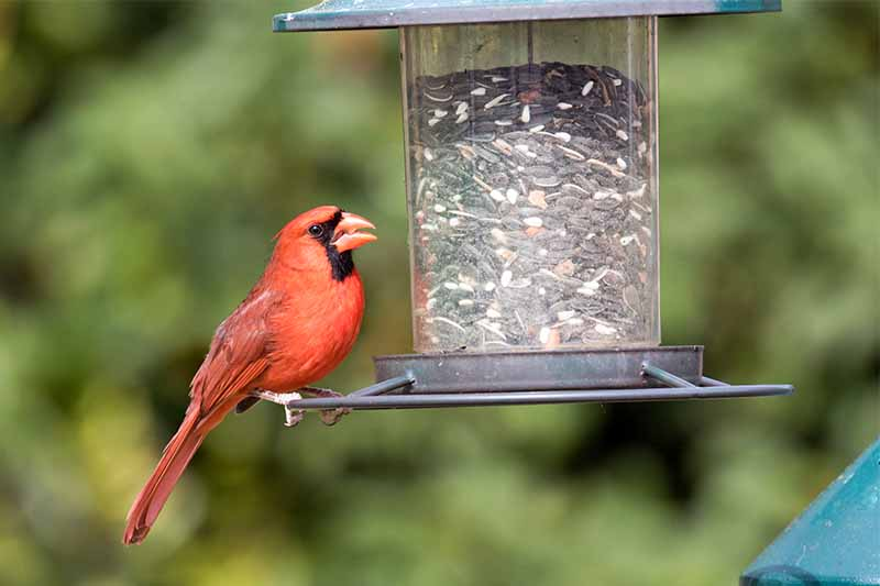 A red and black male cardinal perched on a black and clear plastic birdfeeder filled with seed, on a green background.