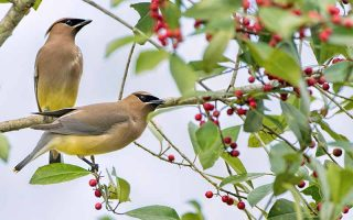 Two beige, black, and yellow cedar waxwings perched on branches with green leaves and red berries, with a pale gray background.