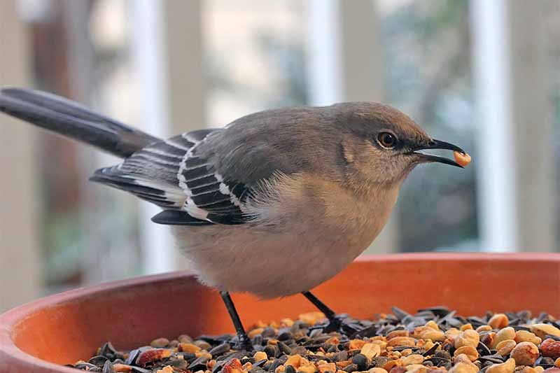 A mockingbird perched on a terra cotta feeder, with peanuts, sunflower seeds, and dried corn.