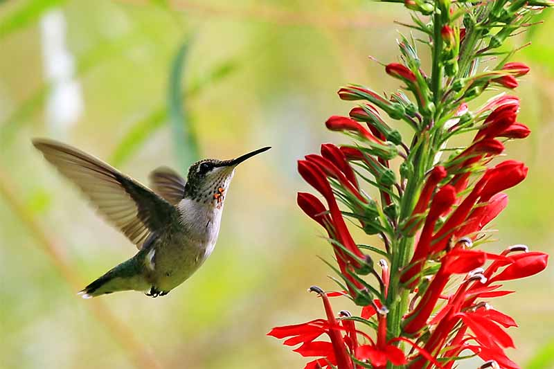 A ruby-throated hummingbird is flying in place next to a red flower, with green foliage in soft focus in the background.