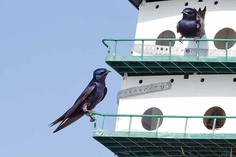 Two adult male purple martins perched on the railings of a birdhouse specifically designed for this species, against a blue sky background.