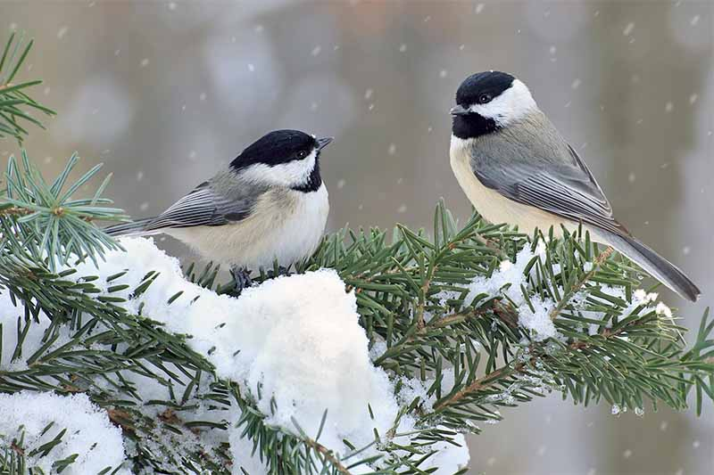 Two black-capped chickadees in the snow, perched on an evergreen.