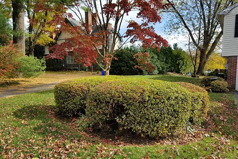 Green azalea bushes trimmed into rounded shapes, growing in the center of a green lawn with scattered fall leaves, and a Japanese maple and other plants and shrubs growing in front of a house in the background.